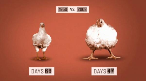 Růst kuřat před 60 lety a dnes
