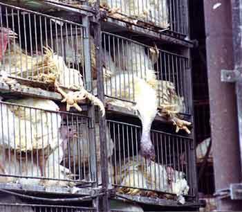 Smrt kuřat