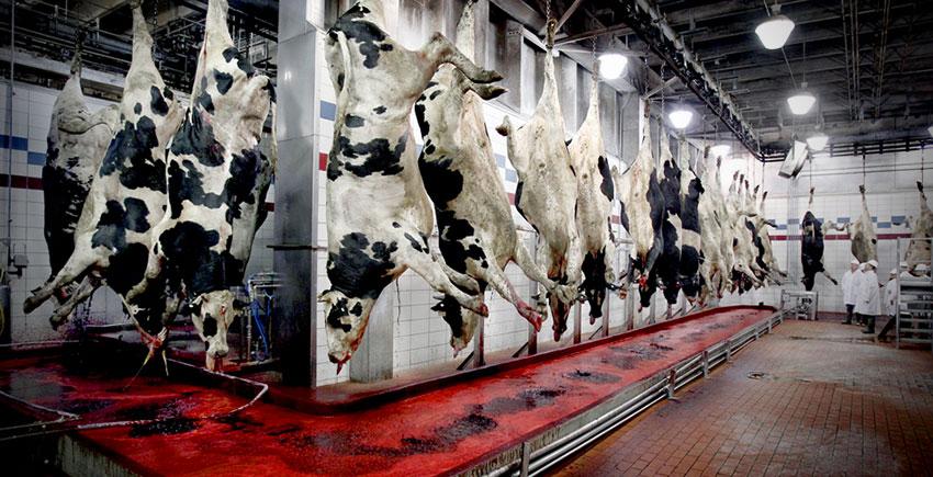 Krávy na jatkách