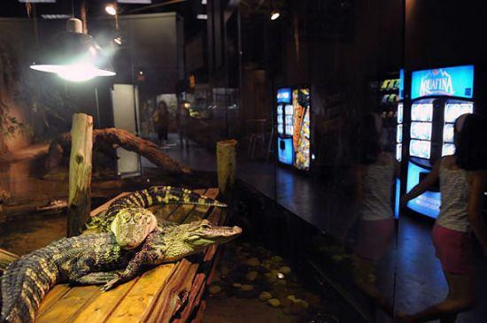 Krokodýl v zajetí