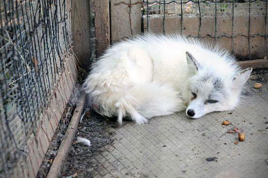 Liška v zajetí
