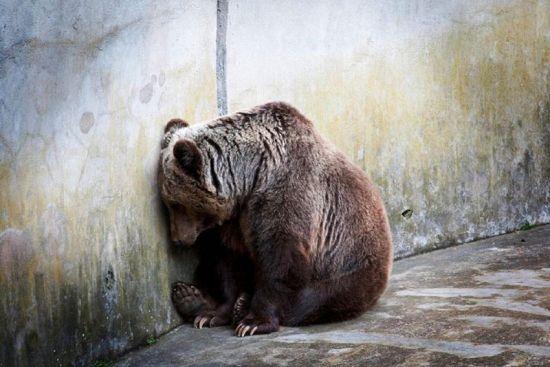 Medvěd v zajetí