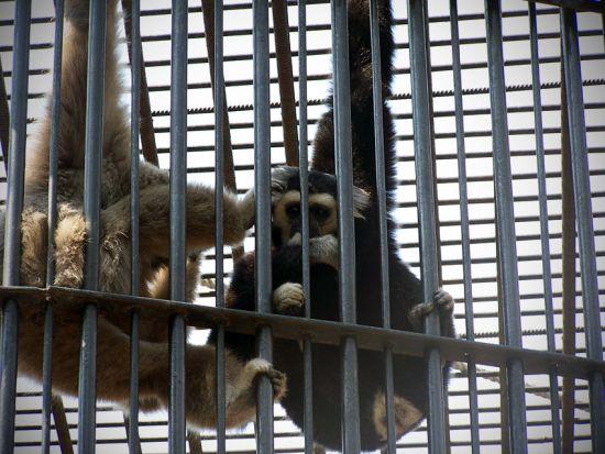 Opice v zajetí