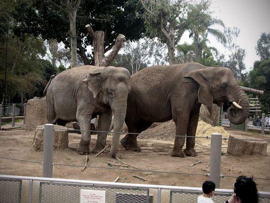 Slon v zajetí