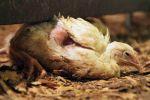Život a smrt kuřat